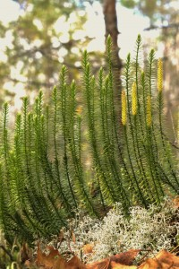 Huperzine-A is synthesized from the Chinese Club Moss pictured here.