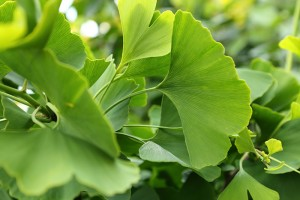 Ginkgo biloba leaves are easy to recognize, partly because they are associated with memory supplements.