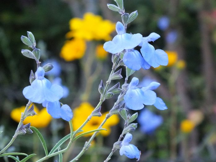 Blue sage. Pretty, but I never heard of it, 'nor seen it before in a fat burner. It may have some sensory benefits, and that's why it is in Hydroxycut Next Gen Hardcore. By 松岡明芳 (Own work) [CC BY-SA 3.0], via Wikimedia Commons