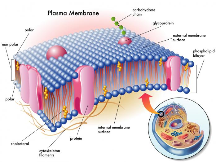 membrana plasmatica - Best 5 Supplements