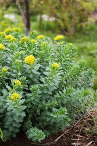 Rhodiola rosea is one of the most effective performance-enhancing nootropic herbs